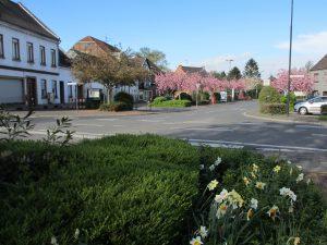 Japanische Kirschbäume für den Dorfmittelpunkt Manheim-neu